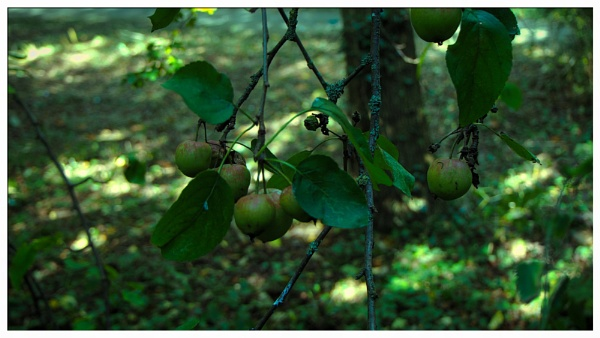 GREEN APPLES. by kojack