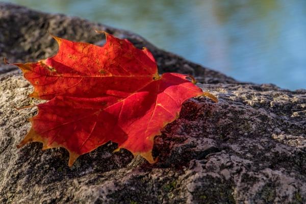 Maple Leaf by manicam