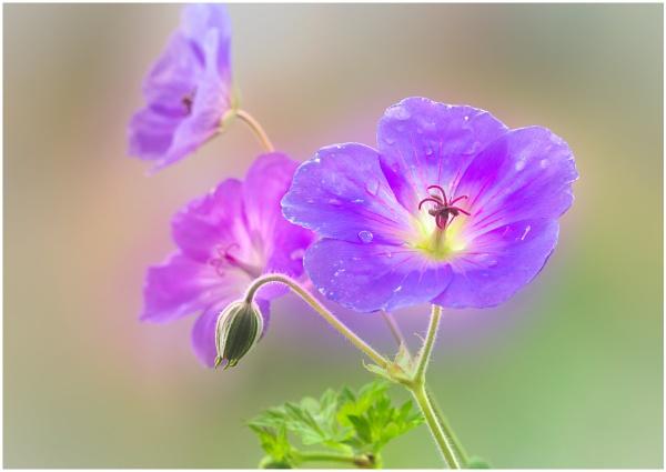 Geranium Rozanne by capto