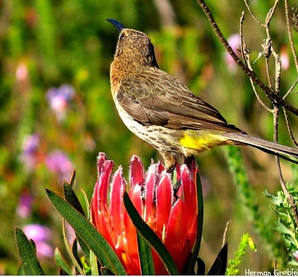 Cape Sugarbird by Hermanus