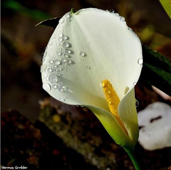 Arum lily by Hermanus