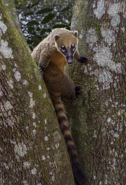 Climbing Coati by TheShaker