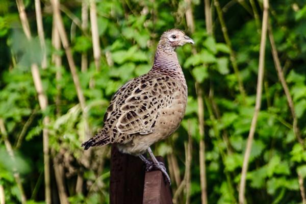 Pheasant hen. by Lencollard
