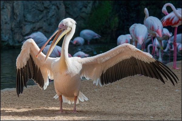 Pelican by rickie