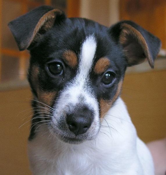 Dog Pet Jack Russel by robertsnikon