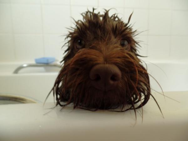 cockapoo dog having a bath. by pauche