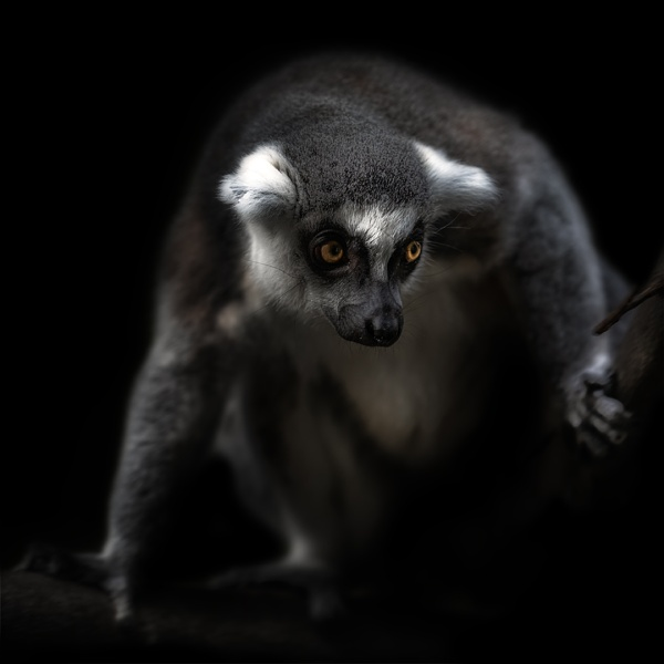 Ring-Tailed-Lemur by DBoardman