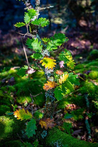 Oak Leaves by xbolt