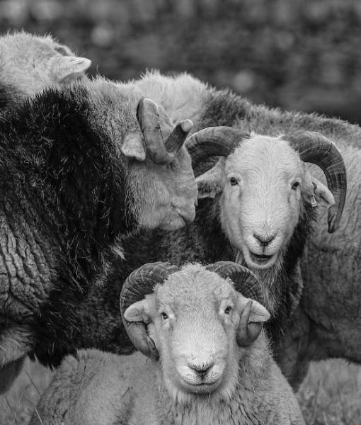 The Herdwick Gang by edward_payne_photography