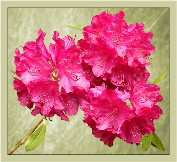 Triple Rhododendron Clusters by pamelajean