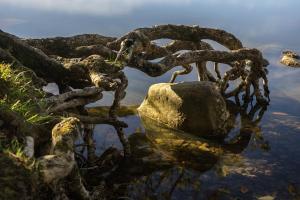 Tree Roots at Derwent Water by millaross