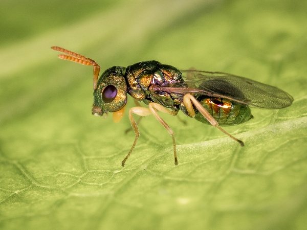 Tiny Parasitic Wasp by barrywebb