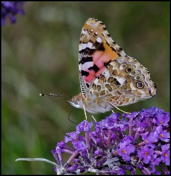 Painted Lady Nectaring on Buddleia... by Badgerfred