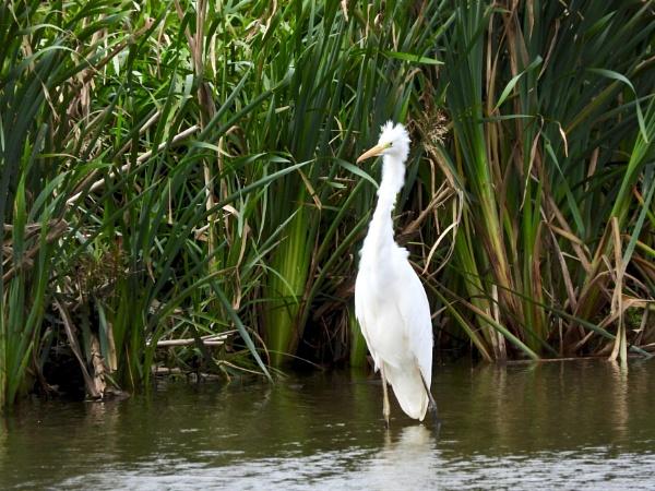 Egret by roge21