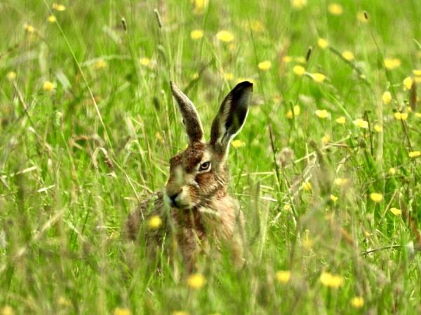 Hare in field of flowers by roge21
