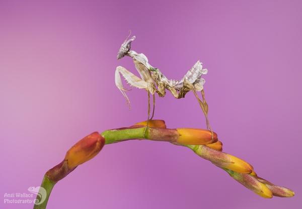 Devil mantis by Angi_Wallace