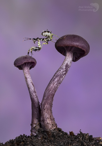 Spiny flower mantis on Amethyst deceiver mushrooms by Angi_Wallace