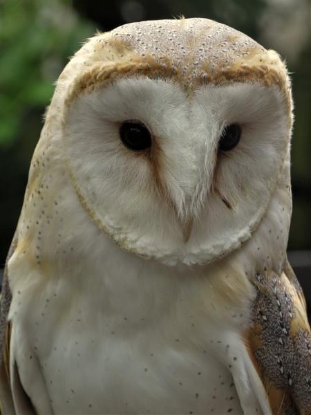 Barn Owl by SUE118