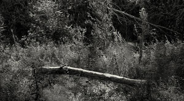 Fallen Tree by scrimmy