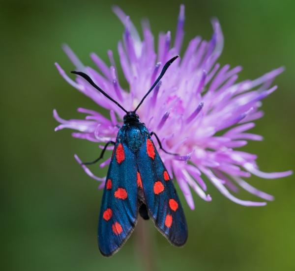 5 Spot Burnet Moth by jasonrwl