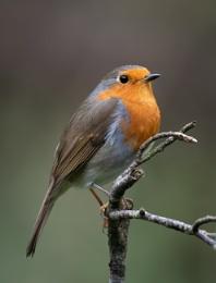 Everyone Loves a Robin