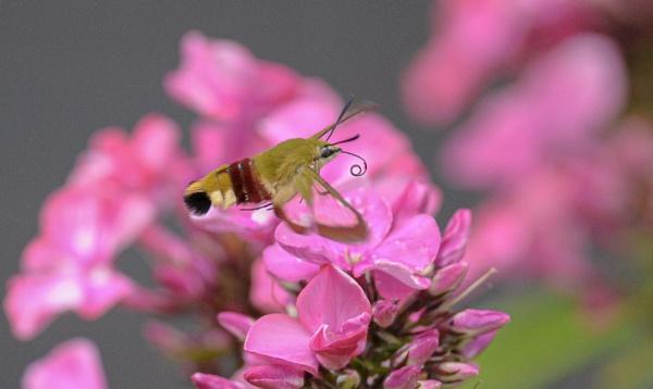 Broad bordered bee hawk-moth by norton