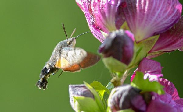Hummingbird Hawkmoth by norton