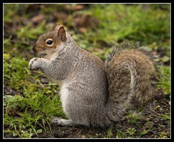 Grey Squirrel Sciurus carolinensis