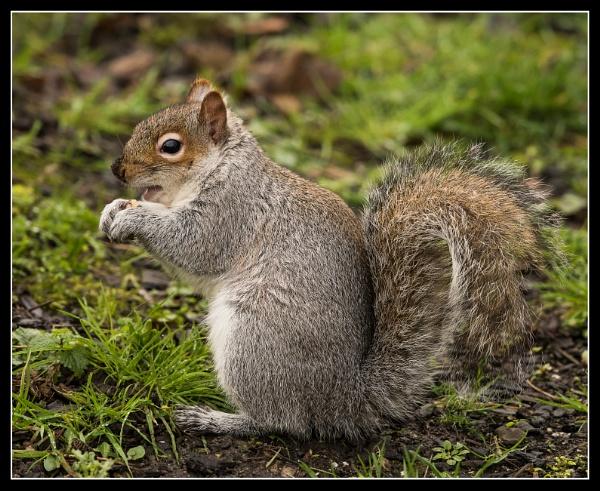 Grey Squirrel Sciurus carolinensis by Toobi_Won