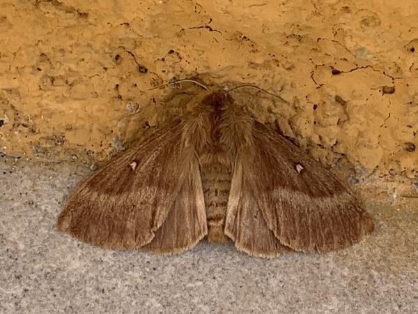 Sardinian Moth by voyger1010