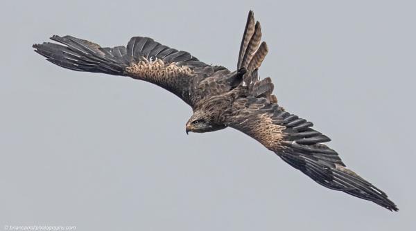Black Kite in Flight by brian17302