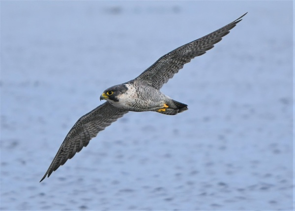 Peregrine Falcon on the hunt for water birds by movingmountain