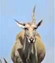 African Unicorn? by Hermanus