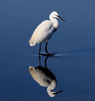 Egret Reflection