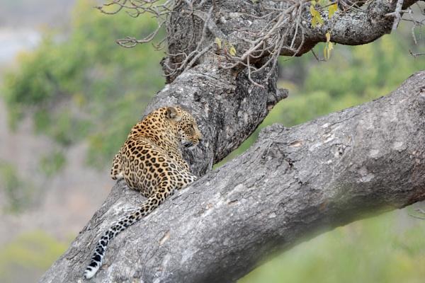 Leopard lazyness by Coen
