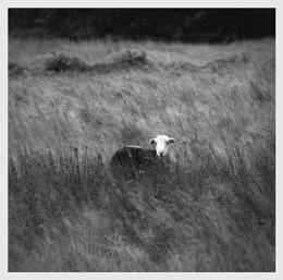 A very singular sheep 1