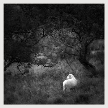 A very singular sheep 2