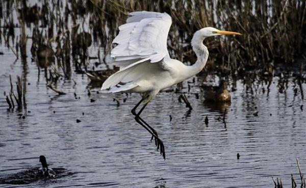 Great White Egret by Lencollard