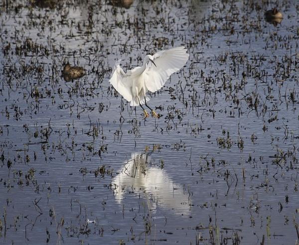 Little Egret by Lencollard