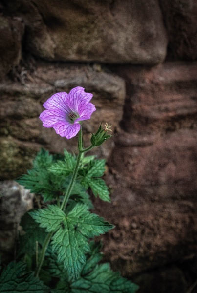 Wall flower by BillRookery