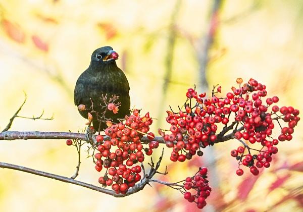 Blackbird in Perusmäki by hannukon