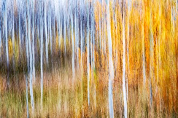 Birchwood by grulis