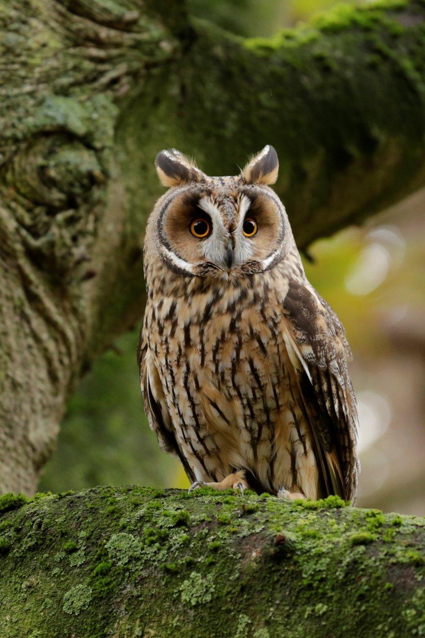 Wordsworth - Long-eared Owl