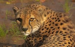 Cheetah - Wild Place Bristol