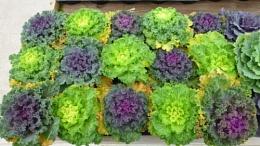 More ornamental Kale