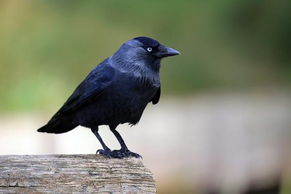 Corvus monedula by GPMASS