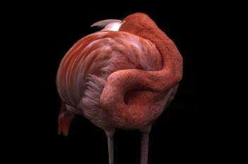 Sleeping Flamingo - 2