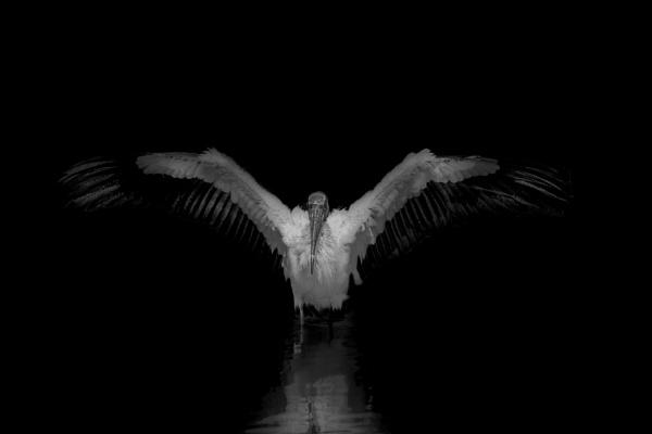 Wood Stork by DBoardman
