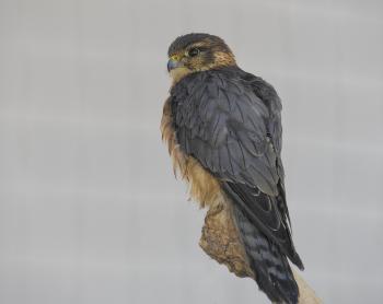 Male Merlin