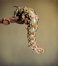 Pine Hawk Moth Caterpillar